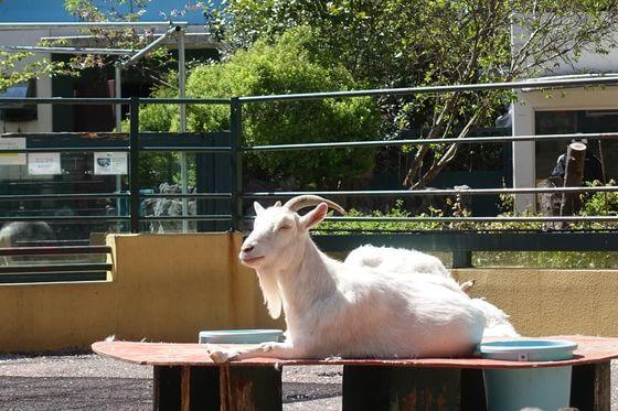 羽村市動物公園 ヤギ