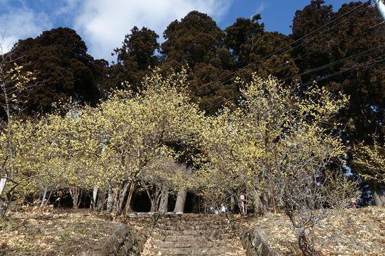 羽黒山神社 ロウバイ