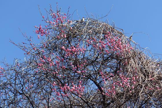 早渕かなりあ公園 枝垂れ梅