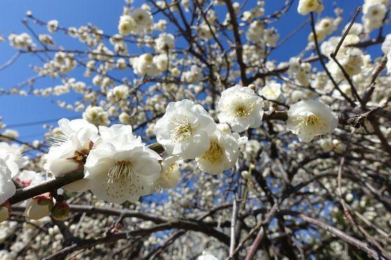 日吉公園 枝垂れ梅
