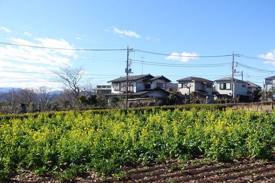 小宮公園 菜の花