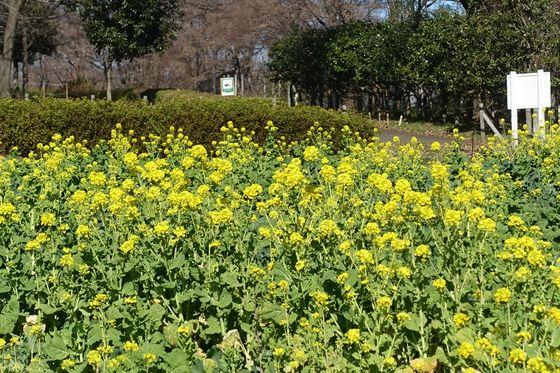 八王子 菜の花