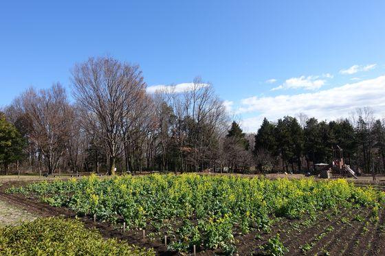 八王子市 菜の花