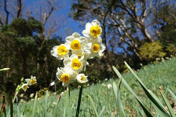 くりはま花の国 水仙