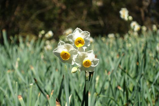 くりはま花の国 ニホンズイセン