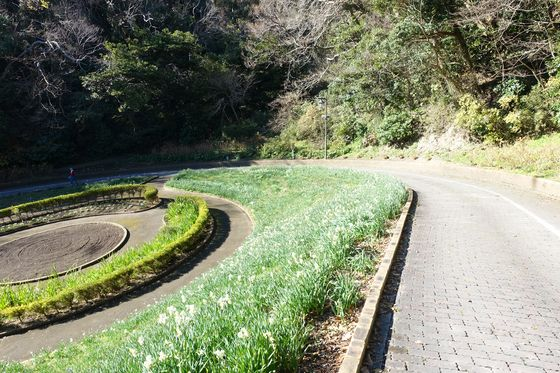 くりはま花の国 水仙 場所