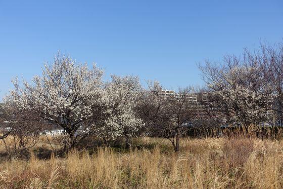 中川八幡山公園 梅林