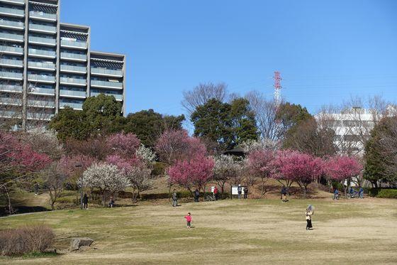 山田富士公園 梅林