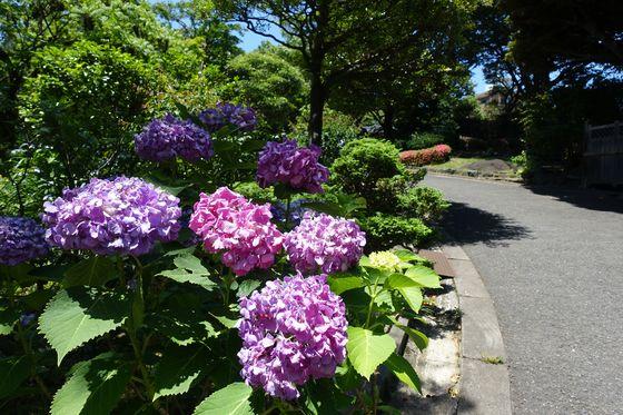 池田山公園 紫陽花