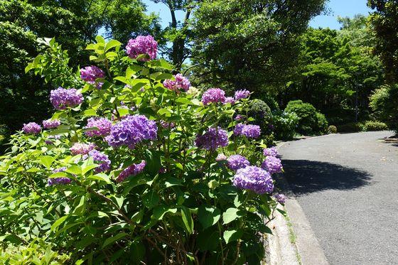 品川区 紫陽花