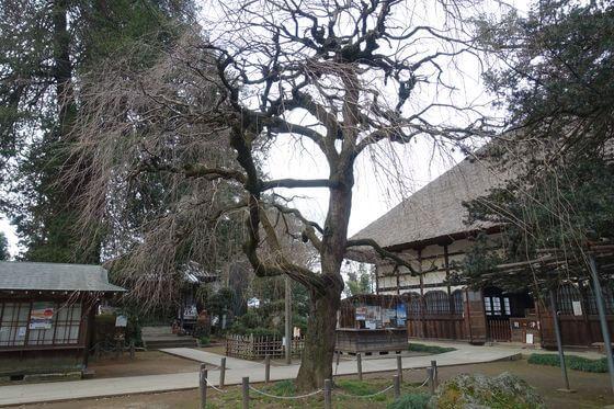茂林寺 枝垂れ桜