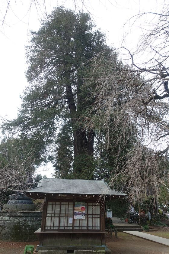 茂林寺 サワラ