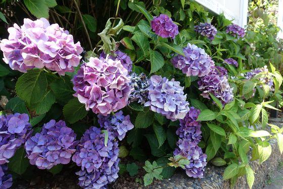 奥沢六丁目緑地 紫陽花