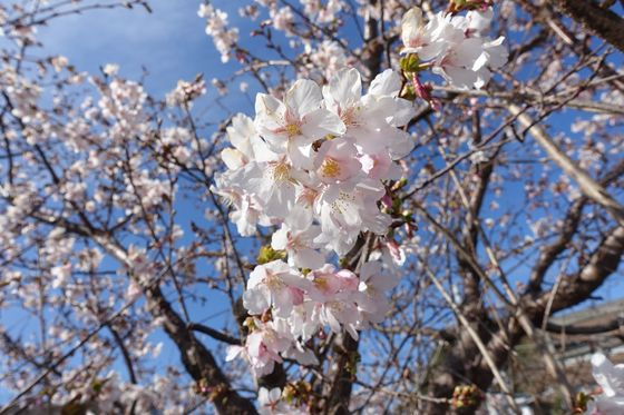 コーナン大船パーク2 玉縄桜