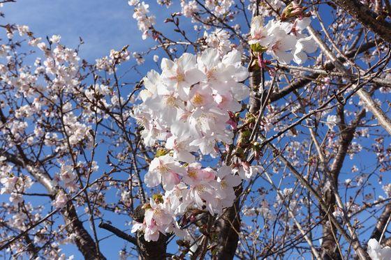 コーナン大船パーク 玉縄桜