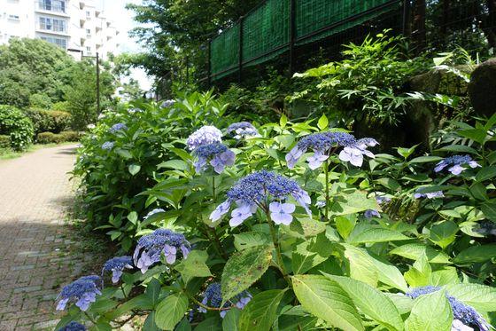 羅漢寺川緑道 紫陽花