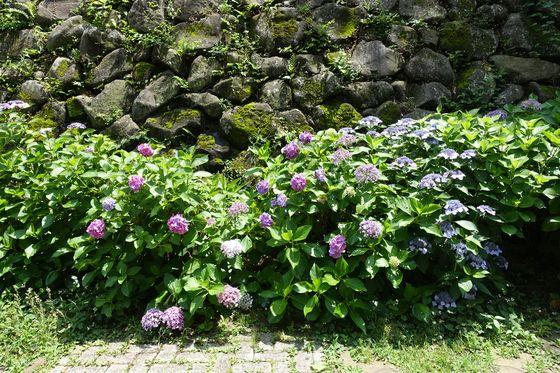 目黒区 紫陽花