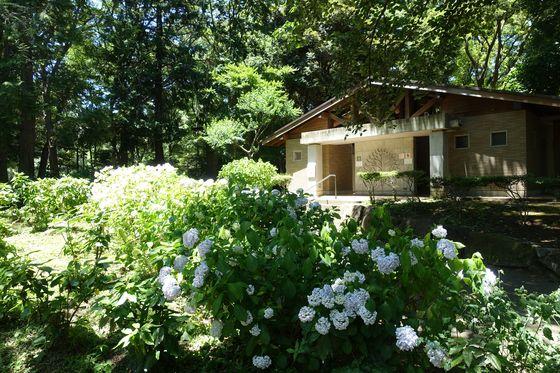 林試の森公園 紫陽花