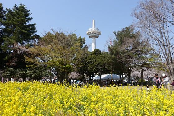 所沢航空記念公園 菜の花