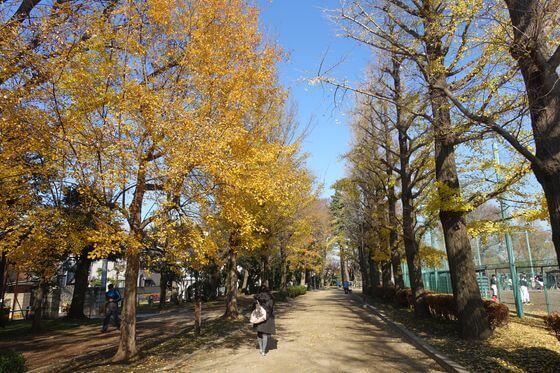 羽根木公園 イチョウ並木