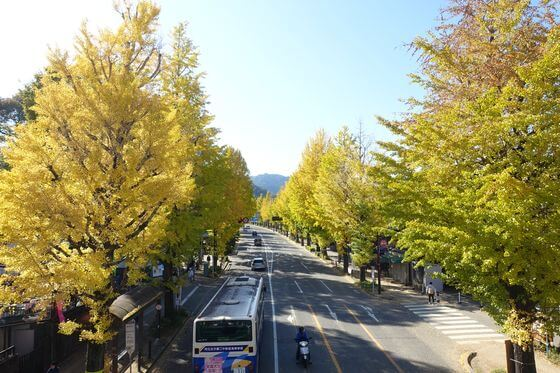 甲州街道 イチョウ並木
