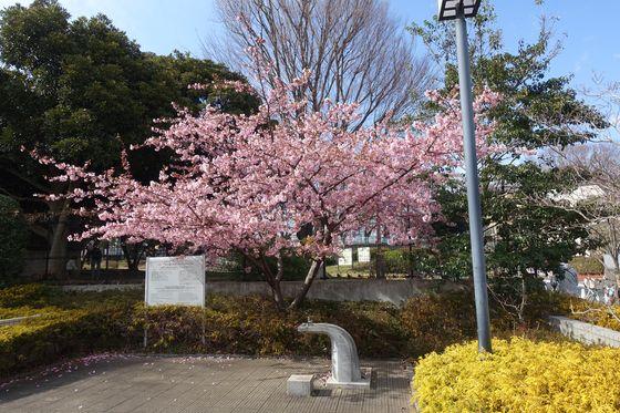 やくも街かど公園 河津桜