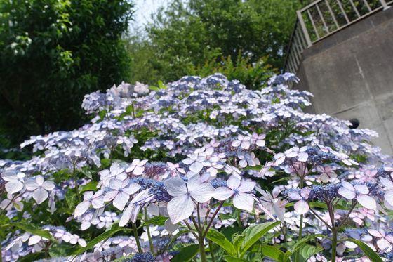 養源寺 紫陽花