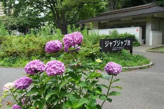 駒沢オリンピック公園 アジサイ
