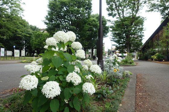 駒沢公園 あじさい
