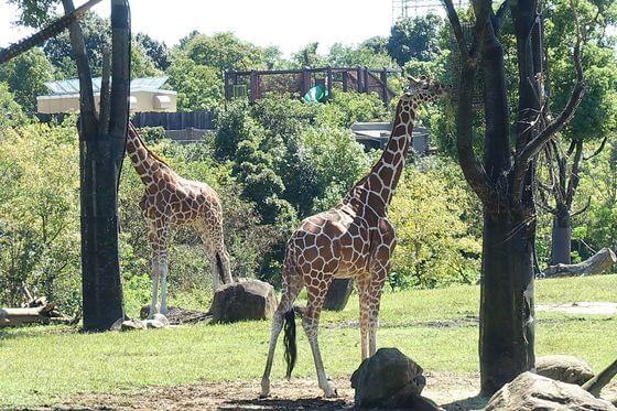 よこはま動物園ズーラシア キリン