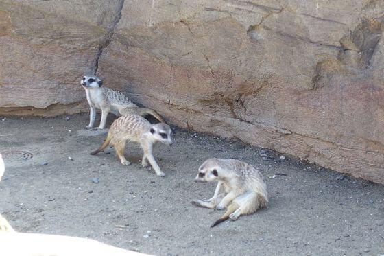 ミーアキャット よこはま動物園ズーラシア