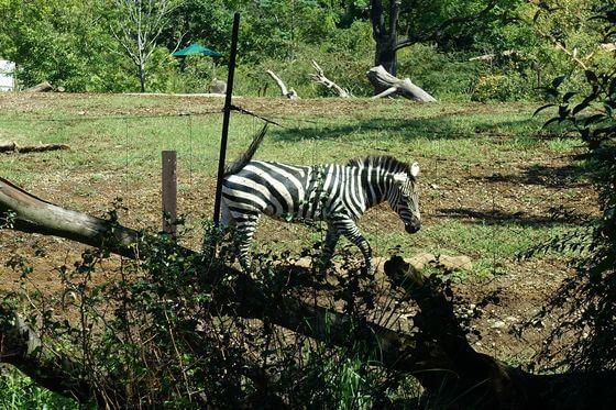 よこはま動物園ズーラシア シマウマ