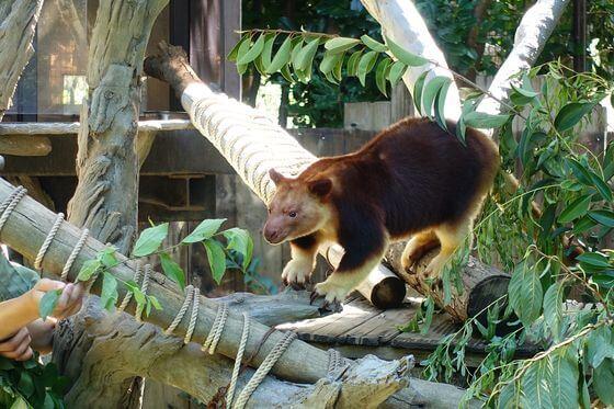 よこはま動物園ズーラシア セスジキノボリカンガルー
