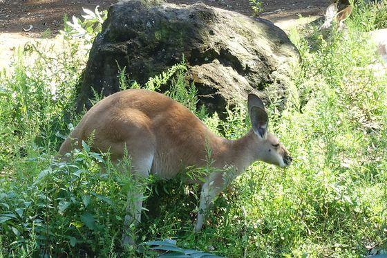 よこはま動物園ズーラシア カンガルー