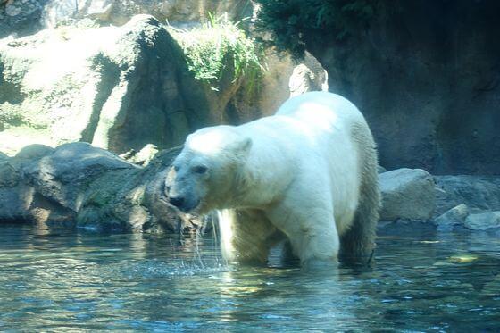 よこはま動物園ズーラシア ホッキョクグマ