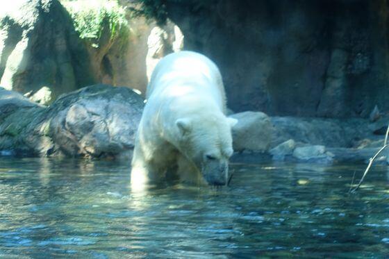 ホッキョクグマ よこはま動物園ズーラシア