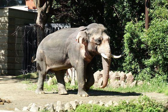 よこはま動物園ズーラシア インドゾウ