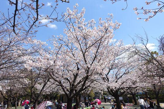 行船公園 江戸川区 桜