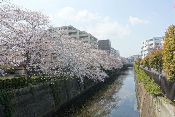 吞川 大田区 桜