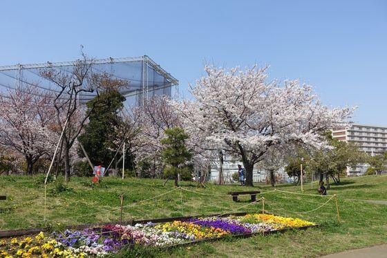 大森ふるさとの浜辺公園 大田区 桜