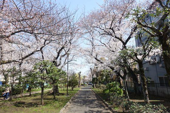 旧呑川緑地 大田区 桜