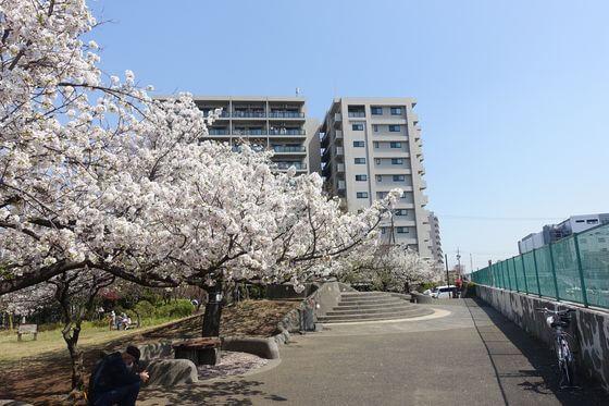 桜梅公園 大田区 桜