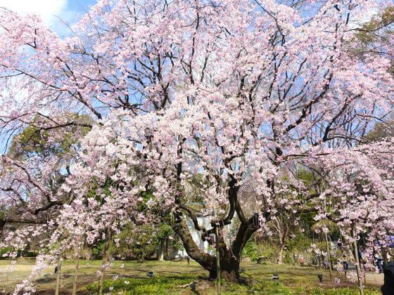 文京区 六義園 桜