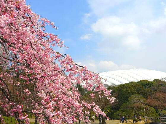 文京区 小石川後楽園 桜