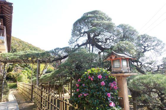 塩澤寺 舞鶴松