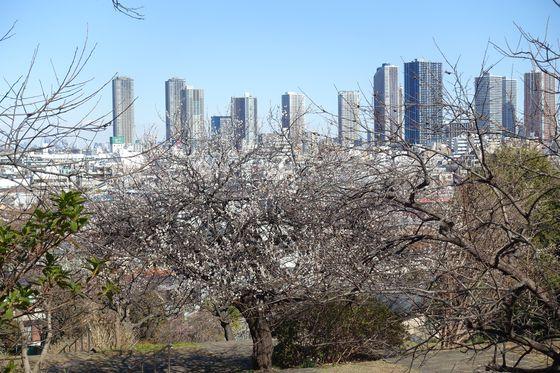 日吉公園 梅