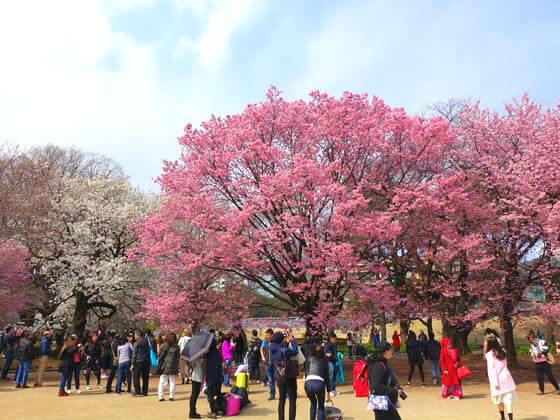 新宿御苑 新宿区 桜
