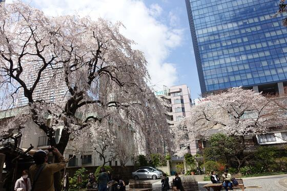 常圓寺 新宿区 桜
