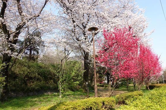 新宿区 桜