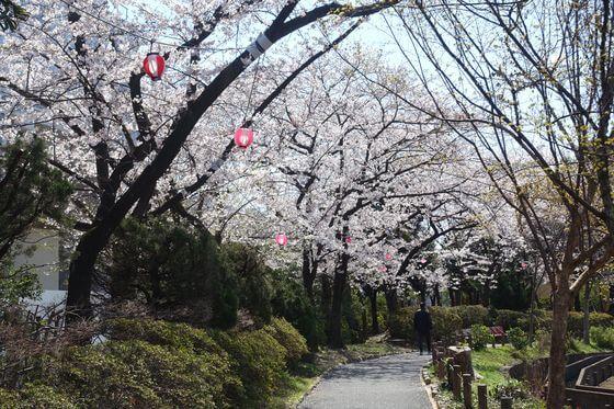 しょうぶ沼公園 足立区 桜